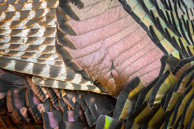 Turkey-Feathers-11-27-14