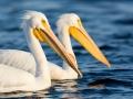 Pelican Portrait 2-7-15