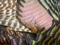 Turkey-Feathers-11-27-14
