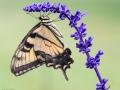 Butterfly-1 8-17-13