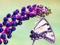 Butterfly-1 8-18-13