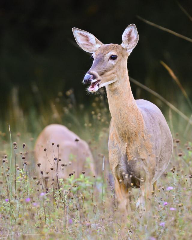 Deer 9-10-12
