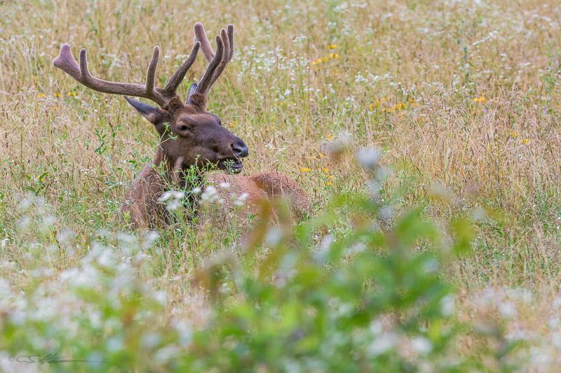 Elk-1-6-29-14
