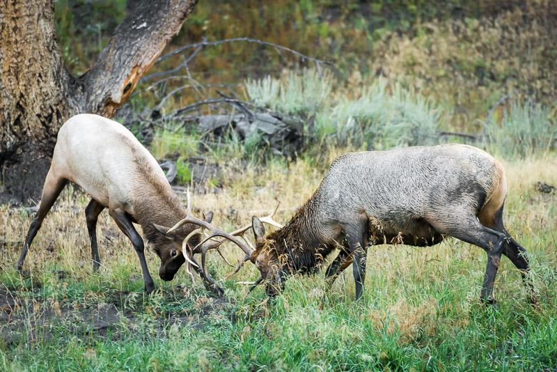 Elk-2-9-1-14