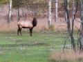 Elk 10-8-13