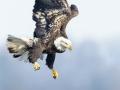 Eagle Dive 2-7-15