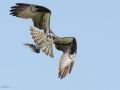 Osprey-2-8-3-14