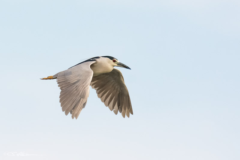 BC-Night-Heron-8-7-14