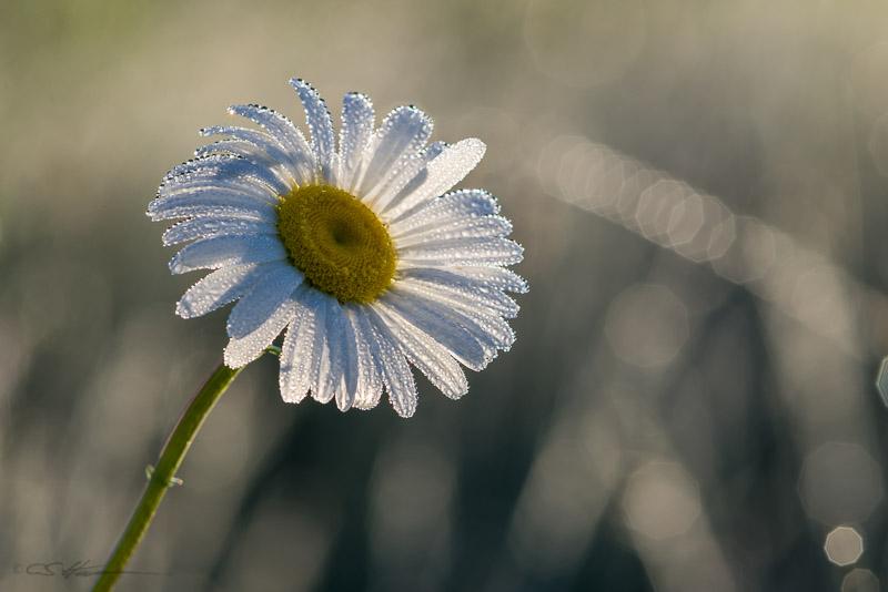 Daisy-2-6-14-14