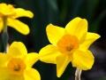 Daffodil 5-5-13