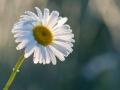 Daisy-1-6-14-14