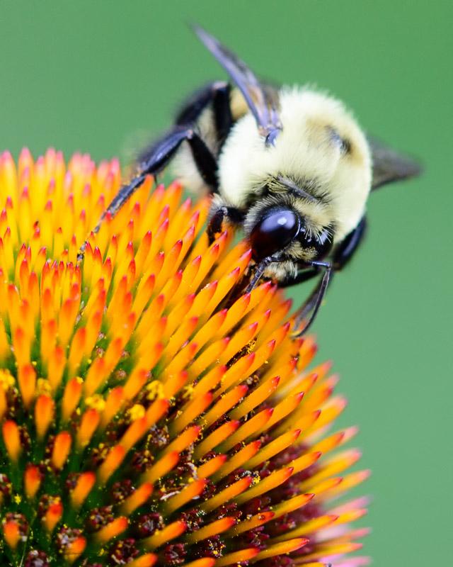 Bumble Bee-1 7-20-13