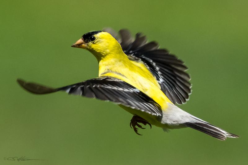Goldfinch 7-30-15