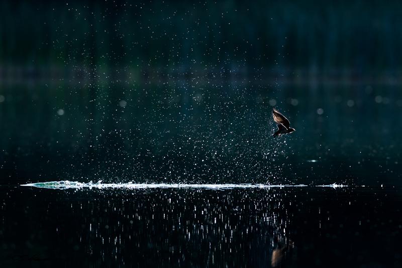 Swallow Splash 8-16-15
