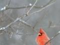 Cardinal-2-M-1-1-14