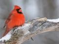 Cardinal-M-1-1-14