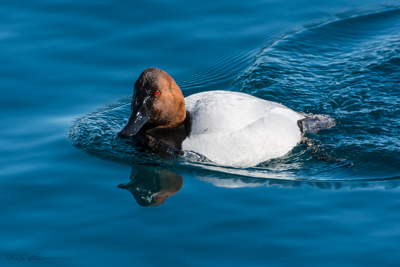 Canvasback-1-2-23-14