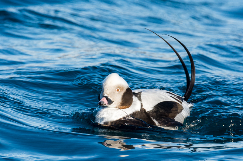 Long-tailed Duck 1