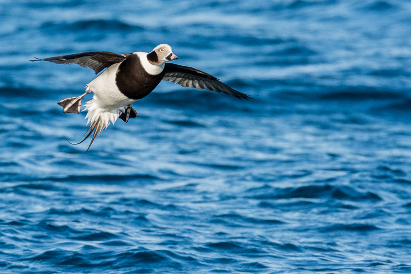 Long-tailed Duck 10
