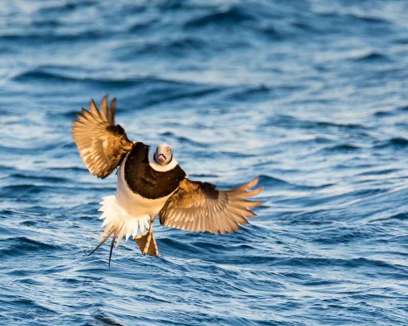 Long-tailed Duck 5
