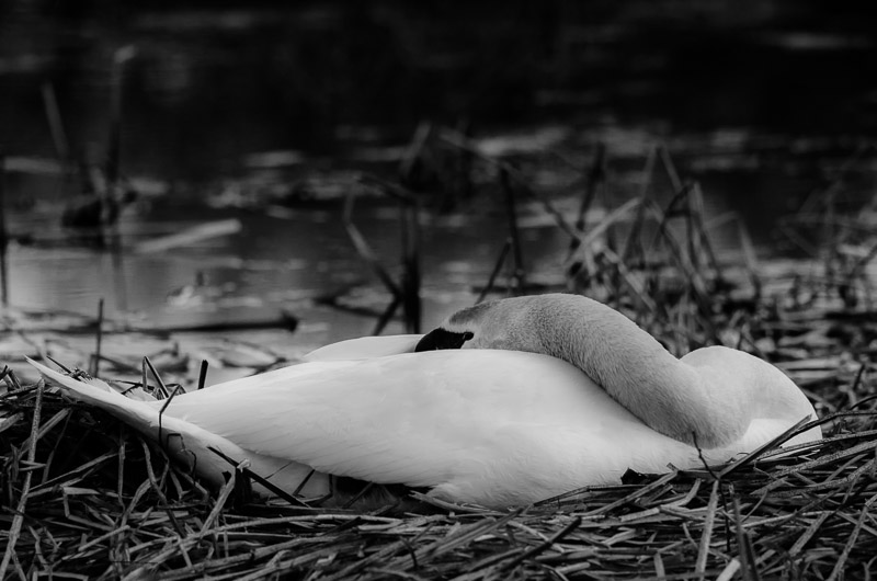 Swan 4-4-13
