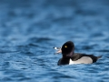 Ring-necked Duck 3-30-15