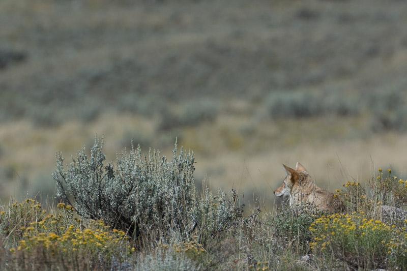 Coyote-2-9-1-14