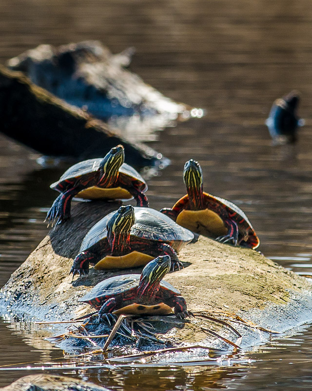 Turtles 3-31-13