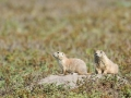 Prarie-Dogs-1-8-29-14